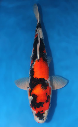 Koi Auction