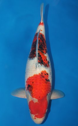 Koi fish supply koi fish supply canada kodama koi farm for Kodama koi for sale